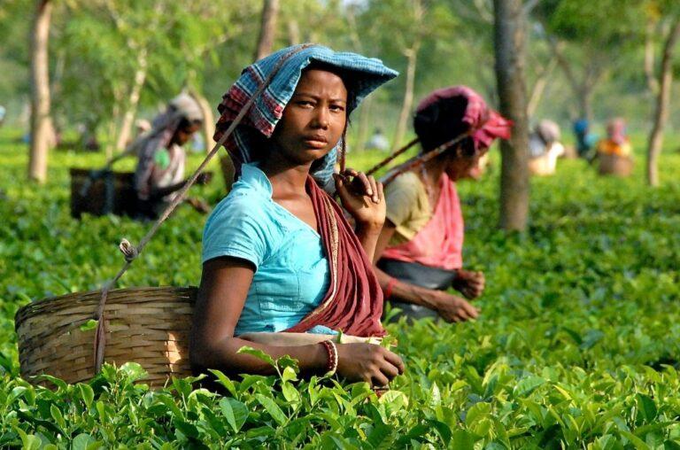 Tea garden in Bihar. Kishanganj tea garden