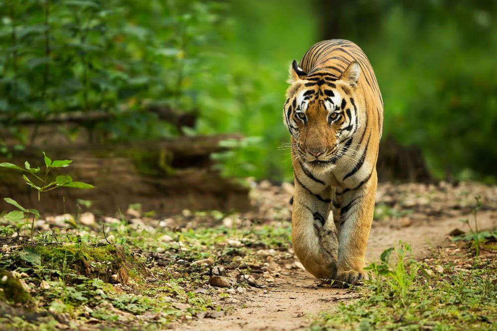 Indian Tiger in Kaimur Wildlife Sanctuary, Bihar