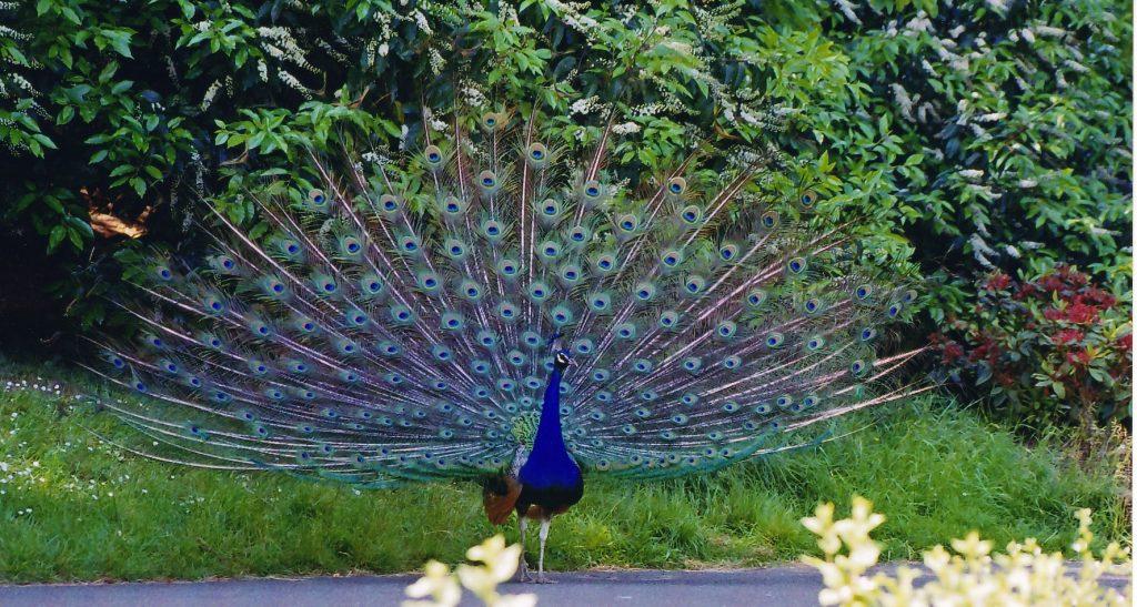 Bhimbandh Wildlife Sanctuary, peacock in bihar
